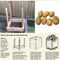 Kaip užauginti dahują bulvių mažam plote